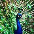 Peacock - Impressions by Susie Peek