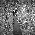 Peacock In Black And White by Alice Gipson
