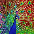 Peacock In Front Of Red Barn by Jerry Gammon
