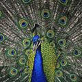 Peacock In Open Feathers, Victoria, Bc by Leanna Rathkelly