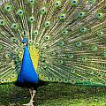 Peacock by Jatinkumar Thakkar