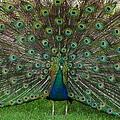 Peacock by Jeffery L Bowers