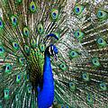 Peacock by Laurel Powell