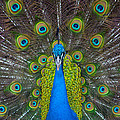 Peacock Portrait by Kimberly Blom-Roemer