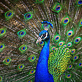 Peacock by Rob Andrus