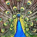 Peacock by Rose Santuci-Sofranko