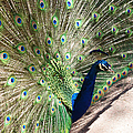 Peacock Show by Ernie Echols