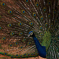 Peacock Show Off by Ernie Echols
