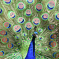 Peacock Smiles by Ernie Echols