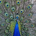 Peacock by Steven Ralser