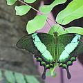 Peacock Swallowtail by Lingfai Leung