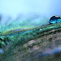 Peacock Tear by Krissy Katsimbras