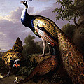 Peacock by Tobias Stranover