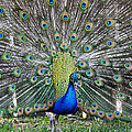 Peacock by Tracy Winter