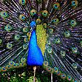 Peacock Wallpaper by Susan Duda