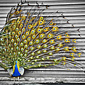 Peacock by Williams-Cairns Photography LLC