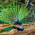 Peacocking by Omaste Witkowski