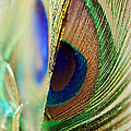 Peacocks Dance The Samba by Lisa Knechtel