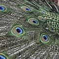 Peacock's Feathers by Sean  Rathbun
