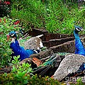 Peacocks In The Garden by Kathleen Struckle