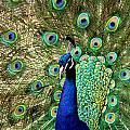 Peacocky Attitude by Ri Davidson