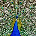 Peafowl Peacock by Gary Keesler