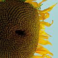 Peak A Boo Sunflower by Gregory Merlin Brown