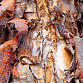 Pealing Bark Upclose by Duane McCullough