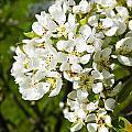 Pear Blossom In English Garden by Brenda Kean