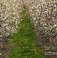 Pear Blossom Lane by Mike  Dawson