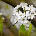 Pear Blossoms by Diana Angstadt