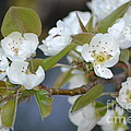 Pear Tree Blooms by Kris Wolf