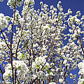 Pear Tree Blossoms In Spring by Duane McCullough