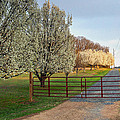 Pear Tree Blossoms In The Carolinas by Maurice Smith