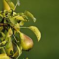 Pear Tree by Dan Radi