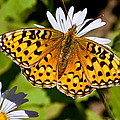 Pearl Border Fritillary Butterfly On An Aster Bloom by Jeff Goulden