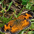 Pearl Crescent Butterfly by Joshua Bales