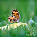 Pearl Crescent Butterfly Square Grass by Karen Adams