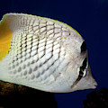 Pearlscale Or Yellow-tailed Butterflyfish by Nigel Downer