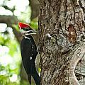 Pecking Woodpecker by Stephen Whalen