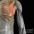 Pectoralis Minor Muscle by Science Picture Co