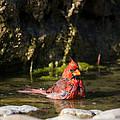Pedernales Park Texas Bathing Cardinal by JG Thompson