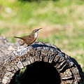 Pedernales Park Texas Carolina Wren by JG Thompson