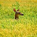Peek A Boo Deer by Valarie Davis