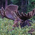 Peek-a-boo Moose by Mary Giordano