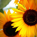 Peekaboo Sunflowers by Carol Groenen