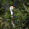 Peeking Cattle Egret by Kathy Baccari