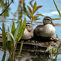 Peeking Ducks by Cheryl Baxter