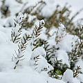 Peeking Through The Snow by Jane Luxton