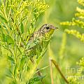 Peeking Warbler by Cheryl Baxter